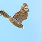 Sparrow Hawk In Flight by Mark Hughes