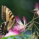 Eastern Tiger Swallowtail Butterfly and Mimosa Flower by karineverhart