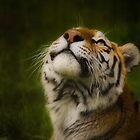 Tiger gazing skyward by Ralph Goldsmith