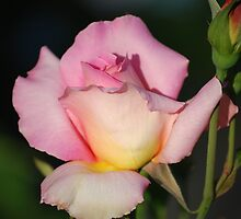 Perfectly Pink... by Carol Clifford