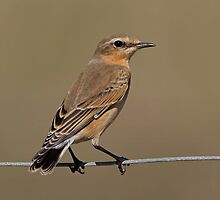 Wheatear by Trevsnature