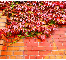 Virginia Creeper On Brick Photographic Print