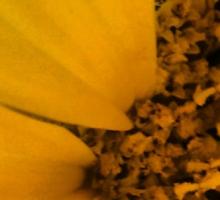 Sunflower- Extreme Close Up Sticker