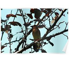 Cedar Waxwing on Apple Tree Poster