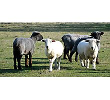 New Zealand Sheep Photographic Print