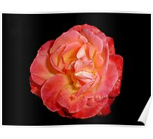 Red Rose (Rosaceae) Poster