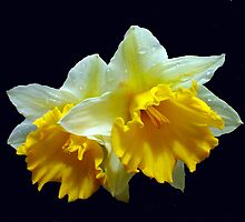 Daffodils  by Neville Hawkins