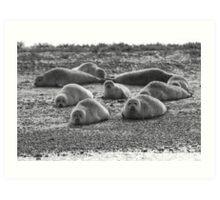 Seals on Blakeney Point Art Print