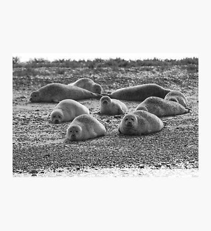 Seals on Blakeney Point Photographic Print