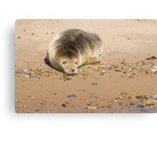 Seal Snoozing on Blakeney Point Canvas Print
