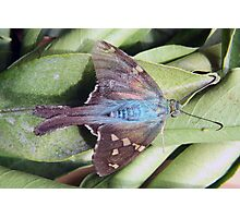 Long Tailed Skipper Butterfly on a Leaf Photographic Print