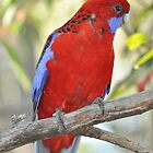 Wild Rosella in Glenbrook by STEPHEN GEORGIOU