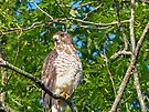 Broad-Wing Hawk by Susan S. Kline