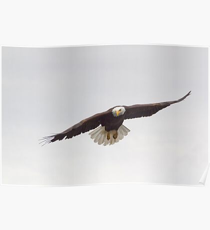 Eagle flying Poster