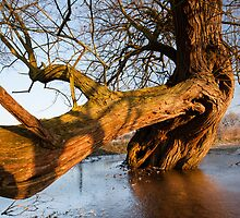 Willow bough by Christopher Cullen