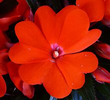 RED IMPATIENS 01 by RainbowArt