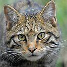 Highland Tiger (Scottish Wildcat) by Dorothy Thomson