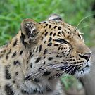 Amur Leopardess by Dorothy Thomson