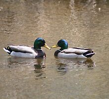 Pair of Mallard Ducks by rhamm