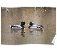 Pair of Mallard Ducks Poster