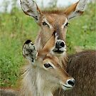 MOTHER AND DAUGHTER - THE WATERBUCK - Kobus ellipsiprymnus - WATERBOK by Magaret Meintjes