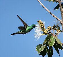 Hummingbird Pollinating Guaba Tree by rhamm