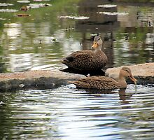 Mottled Duck Pair by Rosalie Scanlon