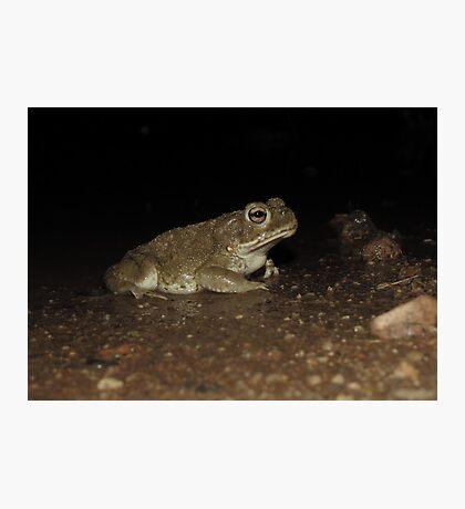 Sonoran Desert Toad (Colorado River Toad) Photographic Print