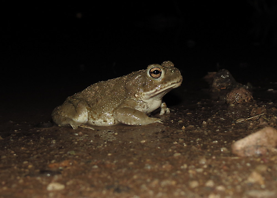 Sonoran Desert Toad (Colorado River Toad) by Kimberly Chadwick
