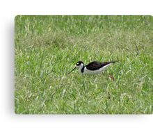 Black-necked Stilt Canvas Print