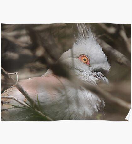 Crested Pigeon, Fleurieu Peninsula Poster