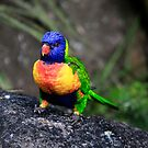 Rainbow Lorikeet by Peter Doré