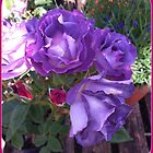purple rose by Jeannine de Wet