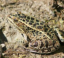 Frog in Mud by rhamm