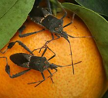 Two Leaf Footed Bugs on an Orange by rhamm