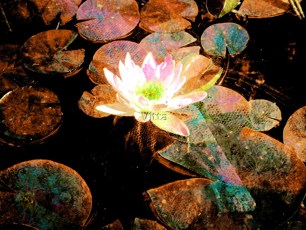 Water Lily Colours by Vitta