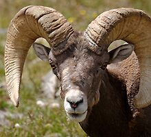 Battered Ram by Stephen Beattie