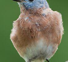 Bluebird Visit by Bonnie T.  Barry