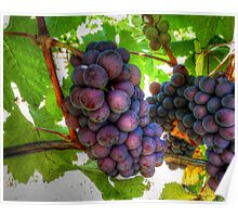 The Fruit of the Vine (Grapes) Poster