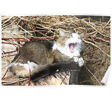 Pixie yawning  Poster