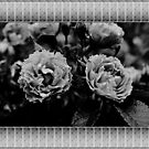 Black and white artistic wild rose flowers photography.  by naturematters