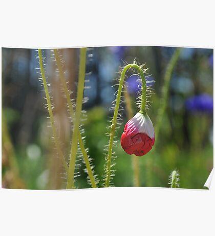 Poppy bud Poster