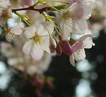 Cherry Blossom by Judy Schwartz Haley