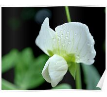 Pea shoots and blooms Poster