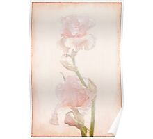Peach-Colored Irises Poster