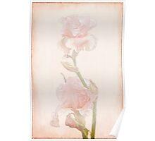 Peach-Colored Irises Poster