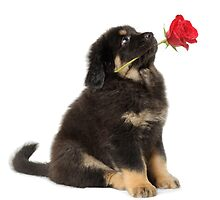 Puppy with a rose looking up by 6handsphoto