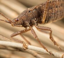 'Brown Shield Bug (a.k.a Stink Beetle)' by Kerrod Sulter