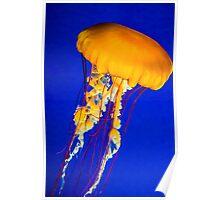 Sea Nettle Jelly Poster