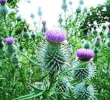 thistle's by sebmcnulty
